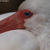 Sleeping white ibis