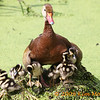 A Black Bellied Whistling Duck shields her babies from the hot summer sun at Green Cay.